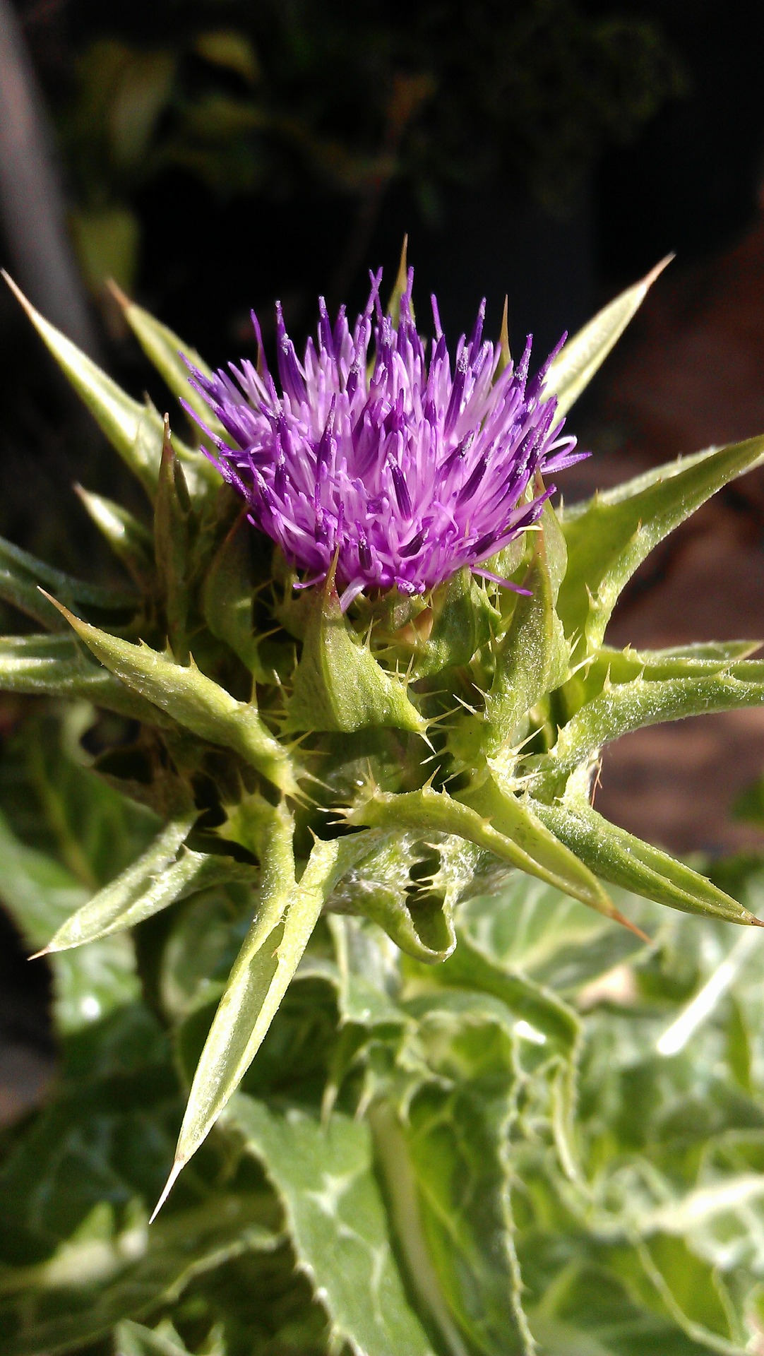 bbs_1412051350_milk-thistle-393005_1920.jpg